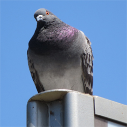 Pigeon on Signboard
